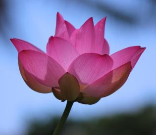 pink-lotus-with-blue-sky-bonita-hensley